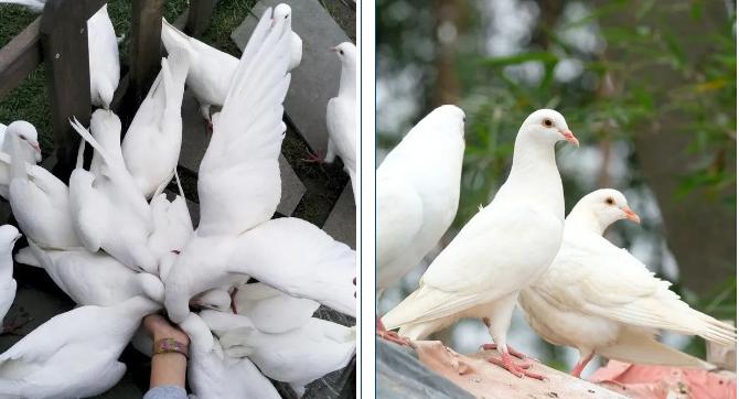 肉鸽疾病防控