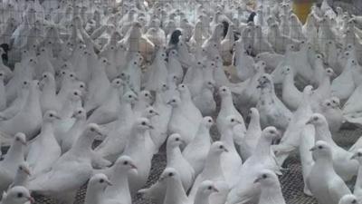 上海邦森分享冬季养鸽6大注意事项