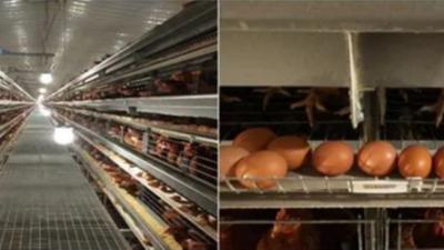 上海邦森分享营养与免疫在蛋鸡养殖中的关系