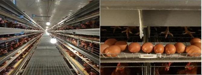 蛋鸡营养与免疫