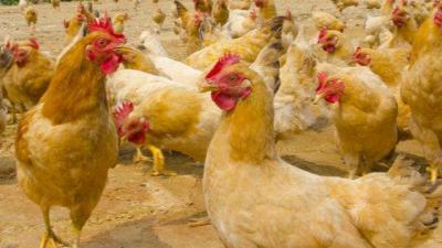 上海邦森分享,肉蛋兼用型土鸡的饲养管理之品种的选择