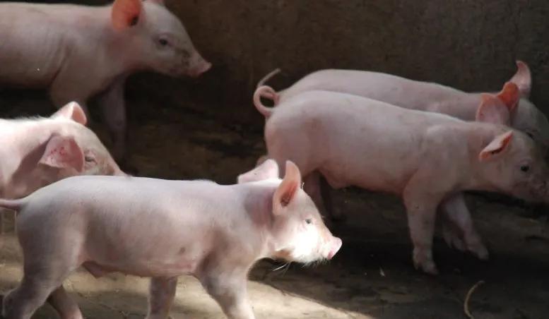 猪不吃食原因