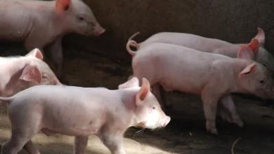 上海邦森分享5个小妙招解决猪不吃食的现象