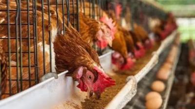 秋季养蛋鸡需要注意的三个细节-上海邦森