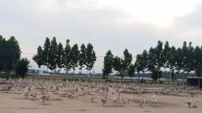 上海邦森分享--冬季鹅产蛋期饲养管理要点