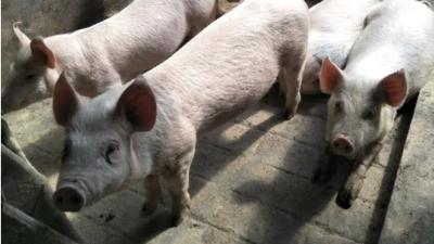 上海邦森猪呼吸道疾病防控方案全在这里。