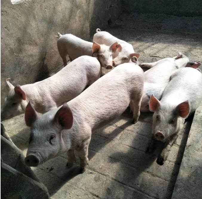 猪呼吸道防治方案