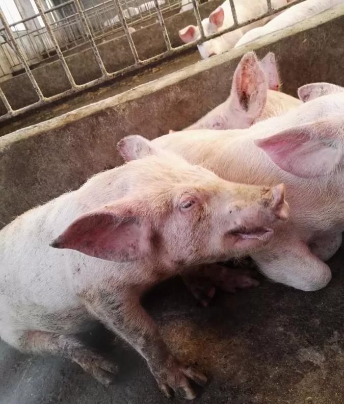 猪呼吸道疾病