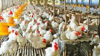 """上海邦森分享:为啥说鸡病防治,要从""""肠""""计议?"""