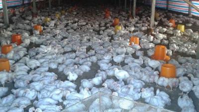 上海邦森告诉您秋冬季家禽呼吸道疾病如何治疗
