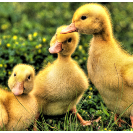 上海邦森治疗鸭呼吸道方案真的是见效快,效果好!