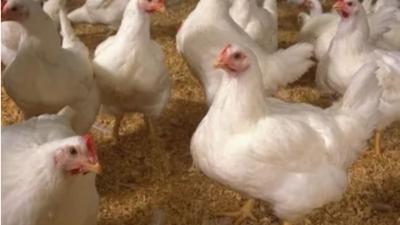 上海邦森分享家禽感冒与大肠杆菌引起包心包肝的9大区别