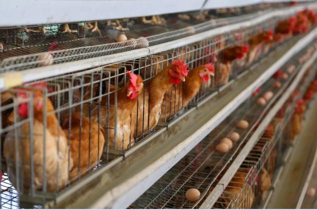 蛋鸡冷应激如何预防