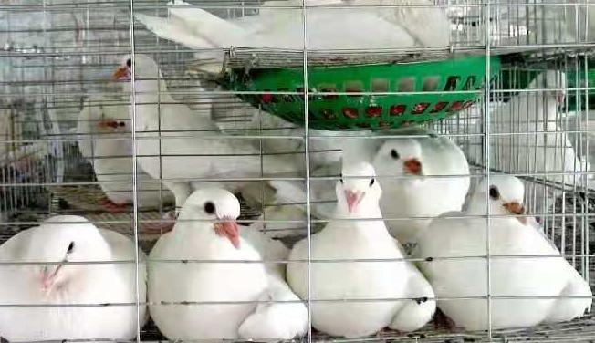 鸽子用药原则