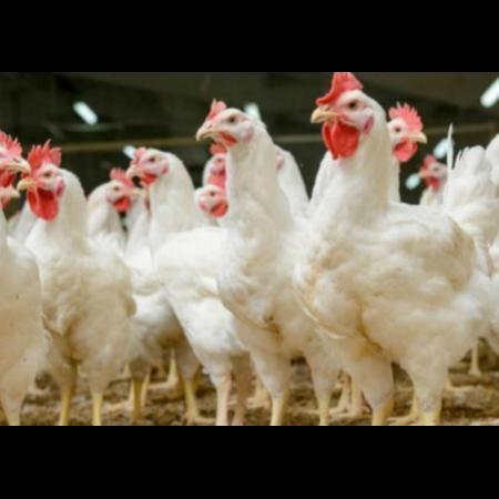 用实证说话,速壮丁在白羽肉鸡的应用效果!