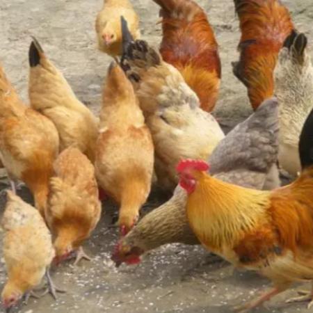 上海邦森速壮丁在土杂鸡上的客户反馈