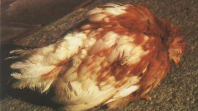 走进鸡传染性法氏囊炎,跟上海邦森一起学相关知识