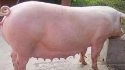上海邦森饲教您如何管理好后备母猪,提高经济效益