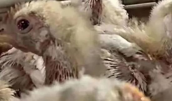 鸡鸭风寒感冒