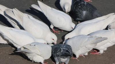 上海邦森鸽寄生虫病防控方案