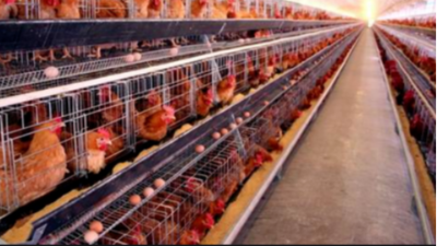 上海邦森教您5招提高蛋鸡的免疫力