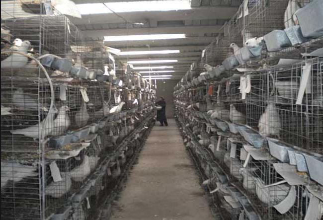 鸽子疾病防控方案