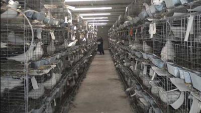 上海邦森鸽病杂病的防控方案