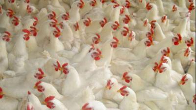 """上海邦森分享--""""新冠""""形势下 如何提升家禽免疫防御能力"""
