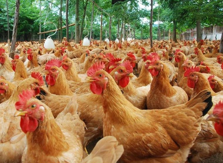 鸡行情分析