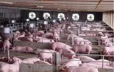 猪场怎么应对猪呼吸道疾病