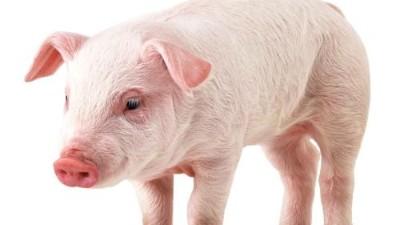 """上海邦森分享猪""""高热""""的原因是免疫抑制"""