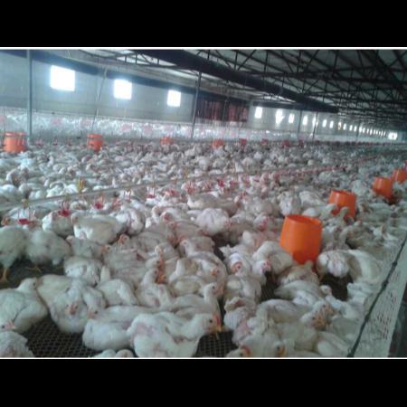 上海邦森速壮丁在蚌埠德康肉鸡养殖场的使用反馈