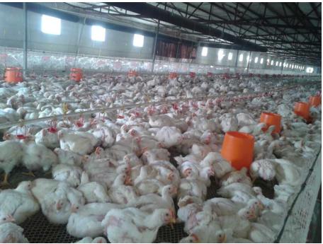 上海邦森速壮丁在德康肉鸡养殖场的使用