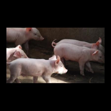 上海邦森猪价行情分享,猪价会疯涨吗?