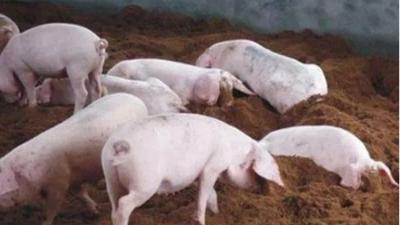 上海邦森教您3招提高养猪效益