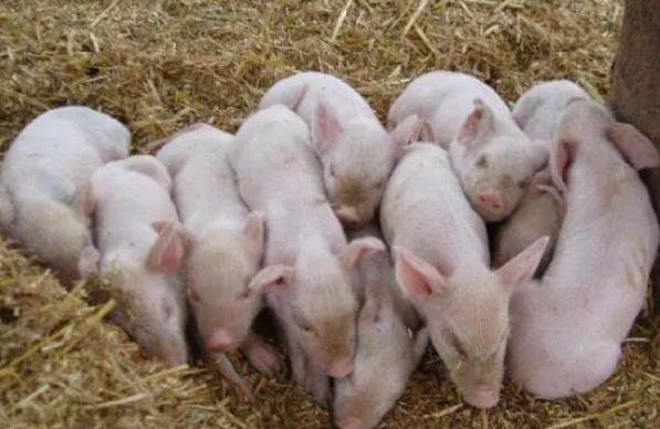 如何提高猪经济效益