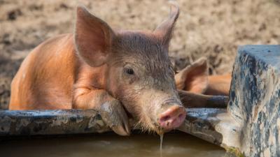 夏季猪场降温,上海邦森教您12招。