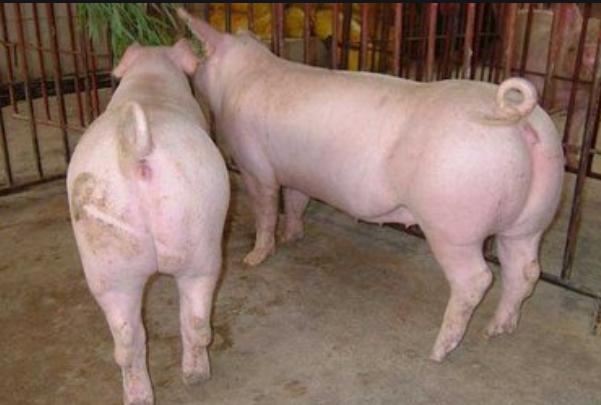 母猪毒素用牧毒包