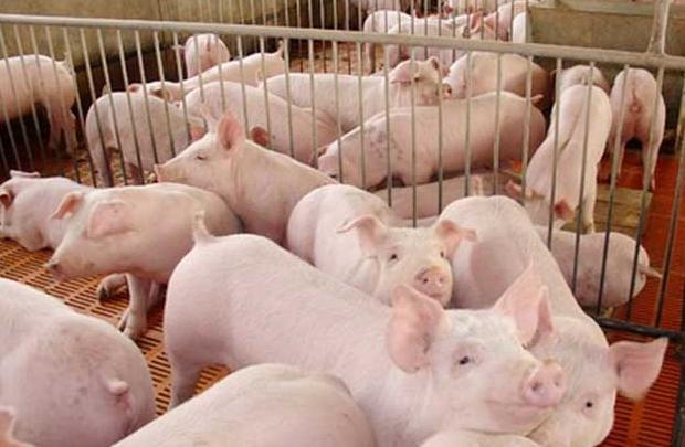 母猪体内毒素类型