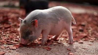 僵猪脱缰的方法,上海邦森分享