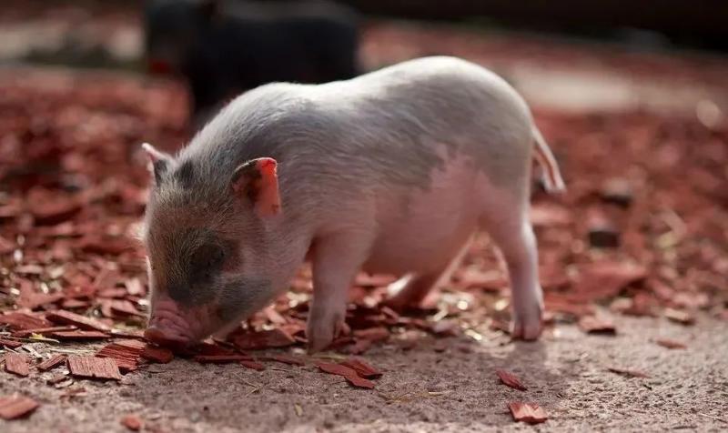 治疗僵猪的方法
