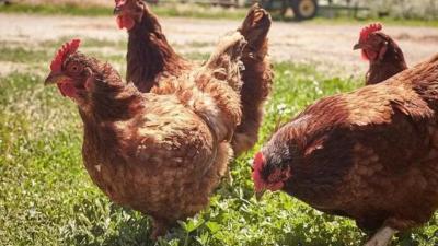 产蛋鸡产后期管理