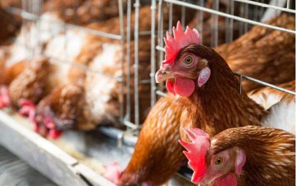 蛋鸡病毒性免疫误区
