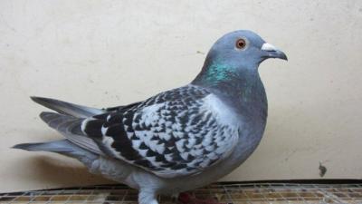 上海邦森分享鸽子注射疫苗时的八大禁忌