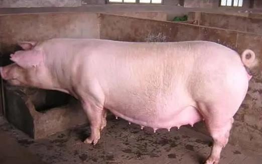 母猪产前不食