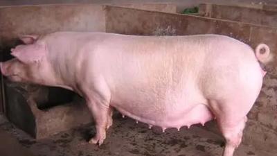 上海邦森技术分享母猪产前不食的原因和预防措施