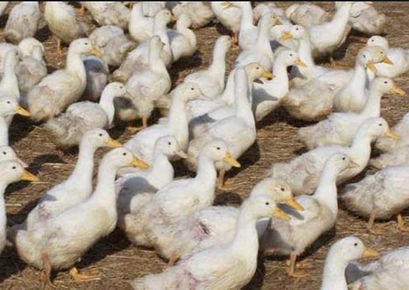 肉鸭管理要点