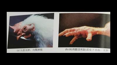冬季禽流感高发,上海邦森教您轻松应对禽流感