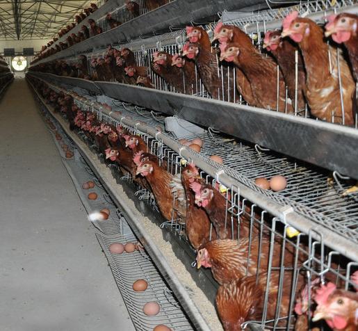 蛋鸡提高产蛋量的方法